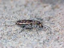 Sand Tiger Beetle Stock Photos