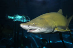 Sand tiger shark. Inside water Stock Photo