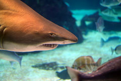 Sand tiger shark above peaceful fishes Royalty Free Stock Photos