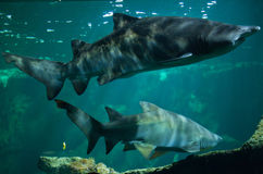 Sand tiger shark Carcharias taurus Royalty Free Stock Images