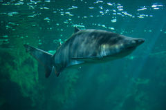 Sand tiger shark Carcharias taurus Royalty Free Stock Photos