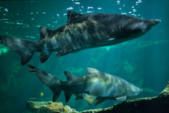 Sand tiger shark Carcharias taurus. Also known as the grey nurse shark royalty free stock photography