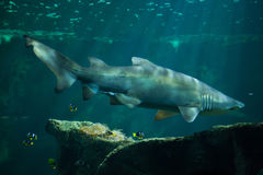 Sand tiger shark Carcharias taurus Royalty Free Stock Photography