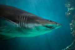 Sand tiger shark Carcharias taurus. Also known as the grey nurse shark Stock Photo