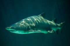 Sand tiger shark Carcharias taurus. Also known as the grey nurse shark Royalty Free Stock Image