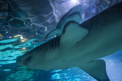 2 Sand Tiger Shark Carcharias taurus , dangerous fish floating in special tank. Royalty Free Stock Images