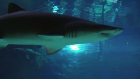 Sand tiger shark Carcharias taurus footage video. Sand tiger shark Carcharias taurus stock footage video stock video