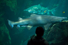 Sand tiger shark (Carcharias taurus). LA ROCHELLE, FRANCE - JULY 3, 2016: Visitor looks as the sand tiger sharks (Carcharias taurus), also known as the grey Stock Photo