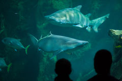 Sand tiger shark Carcharias taurus. LA ROCHELLE, FRANCE - JULY 3, 2016: Visitors look as the sand tiger sharks Carcharias taurus, also known as the grey nurse Stock Photography