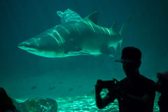 Sand tiger shark Carcharias taurus. MADRID, SPAIN - JULY 6, 2016: Visitor makes a selfie while the sand tiger shark Carcharias taurus, also known as the grey Royalty Free Stock Image