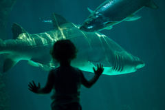 Sand tiger shark Carcharias taurus. MADRID, SPAIN - JULY 6, 2016: Young visitor looks as the sand tiger shark Carcharias taurus, also known as the grey nurse Royalty Free Stock Images