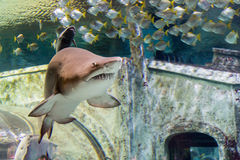 Sand tiger shark Carcharias taurus. And small fishes in the aquarium Royalty Free Stock Image