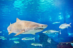Sand tiger shark (Carcharias taurus) Stock Photography