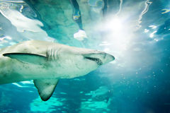 Sand tiger shark (Carcharias taurus) Stock Images