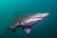 Sand tiger shark. A sand tiger shark or a grey nurse shark near Nelson Bay in Australia stock image