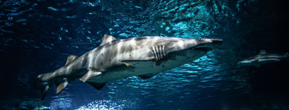 sand tiger shark Stock Images