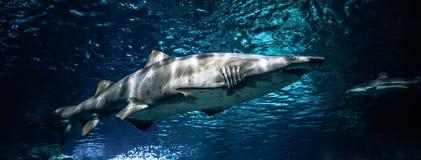 Sand tiger shark. Ragged tooth shark/sand tiger shark swimming on Underwater aquarium stock images