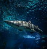Sand tiger shark. Ragged tooth shark/sand tiger shark swimming on Underwater aquarium royalty free stock photography