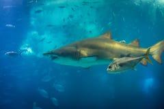 Sand Tiger Shark lizenzfreies stockbild
