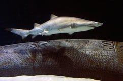 Sand Tiger Shark. A Sand Tiger shark swim underwater in the ocean stock photo