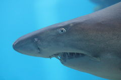 Sand tiger shark Stock Photography