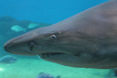 Sand tiger shark Stock Photos