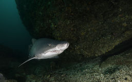 Sand Tiger Shark. Underwater view of a sand tiger or ragged tooth shark swimming amonst the rocks at South Africa`s Aliwal Shoal Royalty Free Stock Photography