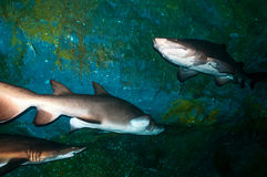 Sand tiger sharks (Carcharias taurus) underwater Stock Photos