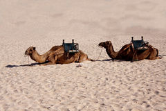 On the Sand,two Camels in the Desert Stock Image