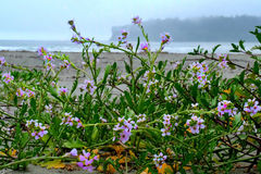 Sand Verbanas flowers on the beach. Olympic National Park. Olympic Peninsula. Port Angeles. Washington. United States Royalty Free Stock Photo