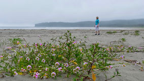 Sand Verbana flowers on the beach. Woman walking on the beach in  Olympic National Park. Olympic Peninsula. La Push.  Port Angeles. Washington. United States Royalty Free Stock Photo