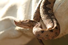 Sand viper in leather glove Stock Image