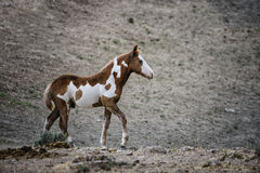 Sand Wash Basin wild horse colt. The wild colt walks through the desert.   Wild horses, or mustangs, at the Sand Wash Basin in northwest Colorado Royalty Free Stock Images