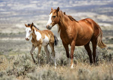 Sand Wash Basin wild horse family. A mare and its colt stroll throug the desert. Wild horses, or mustangs, at the Sand Wash Basin in northwest Colorado Stock Image