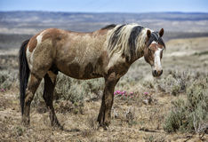 Sand Wash Basin wild horse portrait Stock Photos