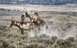 Sand Wash Basin wild horse procreation. Wild horses mate in the desert. Wild horses, or mustangs, at the Sand Wash Basin in northwest Colorado Royalty Free Stock Image