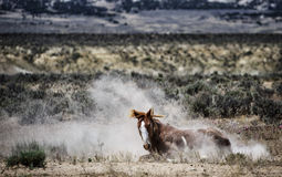 Sand Wash Basin wild horse rolling. A wild horse rolls in the dry desert sand with the dust flying.  Wild horses, or mustangs, at the Sand Wash Basin in Stock Image