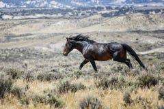 Sand Wash Basin wild horse running Stock Photography