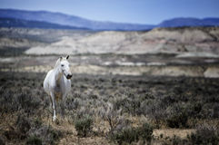 Sand Wash Basin wild horse scenic. A wild horse stands alone in a scenic desert landscape.   Wild horses, or mustangs, at the Sand Wash Basin in northwest Stock Images