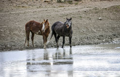 Sand Wash Basin wild horse shout. Wild horses arrive at the watering hole and call out for the rest of the band to join them. Wild horses, or mustangs, at the Royalty Free Stock Photo