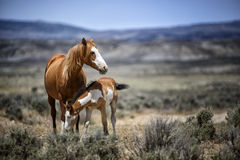 Sand Wash Basin wild horse tenderness. A wild mare tends to her colt.  Wild horses, or mustangs, at the Sand Wash Basin in northwest Colorado Royalty Free Stock Image