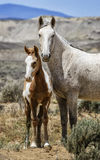 Sand Wash Basin wild horse vertical family portrait Stock Images