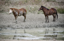 Sand Wash Basin wild horse watering hole. Two wild horses arrive at the watering hole.  Wild horses, or mustangs, at the Sand Wash Basin in northwest Colorado Stock Photos