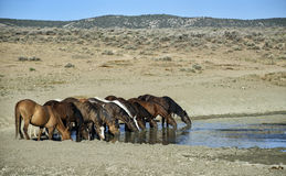 Sand Wash Basin wild horses drinking. A band of wild horses drinks at the watering hole. Wild horses, or mustangs, at the Sand Wash Basin in northwest Colorado Stock Image