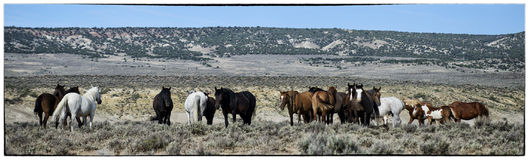 Sand Wash Basin wild horses landscape. Several bands of wild horses, or mustangs, in this landscape shot at the Sand Wash Basin in northwest Colorado Royalty Free Stock Photos