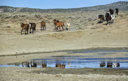 Sand Wash Basin wild horses. Wild horses, or mustangs, head to the watering hole.  Sand Wash Basin in northwest Colorado Stock Photography