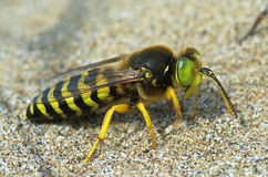 Sand wasp Bembix rostrata (Crabronidae) Royalty Free Stock Photos