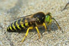 Sand wasp Bembix rostrata (Crabronidae) Royalty Free Stock Photos