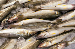Sand whiting Royalty Free Stock Images