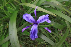 Sandakphu Trek. Beautiful flower on the way to Sandakphu royalty free stock photos